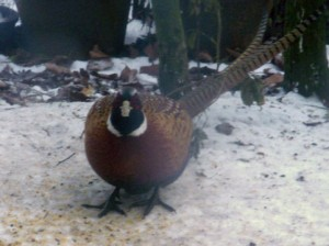 A pheasant in the snow.
